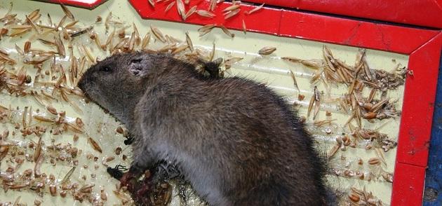 Поймать крысу на клей достаточно легко